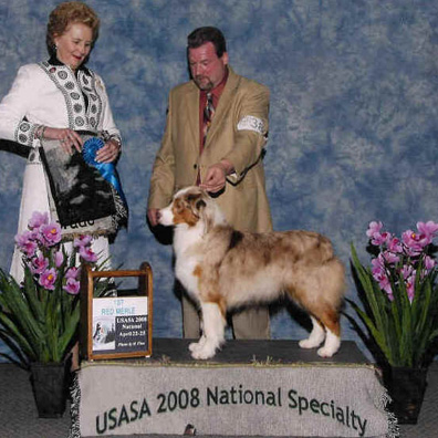 Tox taking the open red merle class at the 2008 AKC Australian Shepherd National Specialty 2008